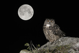 Eurasian Eagle Owl (Bubo Bubo) Adult Perched Photographic Print by Andy Trowbridge