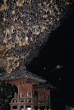 Rousettus Fruit Bats at Goa Lawah Bat Cave Temple, Bali. Indonesia Photographic Print