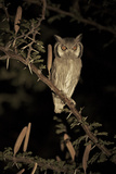 White Faced Scops Owl (Otus Leucotis) in a Candle-Pod Acacia (Acacia Hebeclada) at Night Photographic Print by Christophe Courteau
