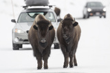 Bison (Bison Bison) Pair Standing on Road in Winter, Yellowstone National Park, Wyoming, USA, March Photographic Print by Peter Cairns