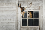 Barn Owl (Tyto Alba) Photographic Print by Rolf Nussbaumer