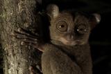 Head Portrait of a Wild Western - Sunda Tarsier (Tarsius Bancanus) on Tree Trunk at Night Photographic Print by Tim Laman