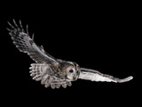 Tawny Owl (Strix Aluco) in Flight. Captive. UK Photographic Print