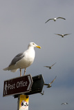 Seagulls in Padstow Harbour, Cornwall, England Reproduction photographique par Adam Burton