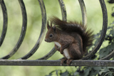 Red Squirrel (Sciurus Vulgaris) Sitting on Metal Railing, Vosges, France, April Photographic Print by Fabrice Cahez