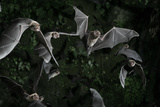 Naked-Backed (Moustached) Bats (Pteronotus Davyi) Emerging at Dusk, Tamana, Trinidad, West Indies Photographic Print