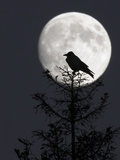 Silhouette of Hooded Crow (Corvus Cornix) Against Full Moon, Helsinki, Finland, December Photographic Print by Markus Varesvuo