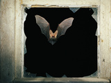 Long Eared Bat Photographic Print