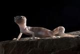 Desert Banded Gecko (Coleonyx Variegatus Variegatus) Controlled Conditions Photographic Print by Daniel Heuclin