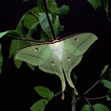 Indian Moon Moth Photographic Print