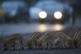 Wildschweine (Sus Scrofa), Frischlinge Am Stra§Enrand, Grunewald, Hÿttenweg, Berlin, Deutschland Fotografisk trykk av Florian Moellers