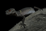 Pingxiang Cave Gecko (Goniurosaurus Luii) Clinging to Tree Trunk with Strong Red Eyes Photographic Print by Shibai Xiao