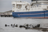 Grey Seals (Halichoerus Grypus) on Haul Out in Fishing Harbour with Ferry in the Background Reprodukcja zdjęcia autor Peter Cairns