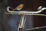 Robin Erithacus Rubecula on Bicycle Reproduction photographique par Ernie Janes