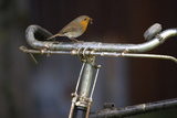 Robin Erithacus Rubecula on Bicycle Photographic Print by Ernie Janes