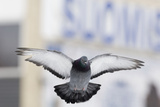 Feral Pigeon (Columba Livia) Flying, London, March Photographic Print by David Tipling