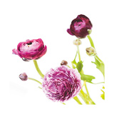 Spring Ranunculus II Prints by Laura Marshall