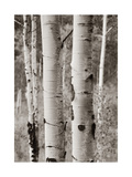 Aspens II Prints by Debra Van Swearingen
