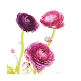 Spring Ranunculus I Posters by Laura Marshall