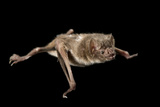 A Common Vampire Bat, Desmodus Rotundus. Fotografisk tryk af Joel Sartore