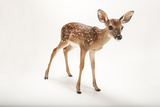 A Three-Week-Old White-Tailed Deer Fawn, Odocoileus Virginianus. Photographic Print by Joel Sartore