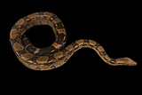 A Red-Tailed Boa, Boa Constrictor. Fotografisk tryk af Joel Sartore