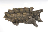 An Alligator Snapping Turtle, Macroclemys Temminckii. Photographic Print by Joel Sartore