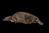 A Platypus, Ornithorhynchus Anatinus. Photographic Print by Joel Sartore