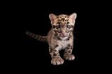 A Vulnerable, Nine-Week-Old Clouded Leopard Cub, Neofelis Nebulosa. Fotografisk tryk af Joel Sartore