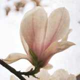 Magnolia Dawn Giclee Print by Pete Kelly