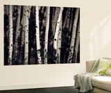 Birch Trees Wall Mural by Jamie Cook