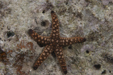 Close-Up of a Sea Star, Beqa Lagoon Fiji Photographic Print by  Stocktrek Images