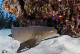 A Nurse Shark Rests on the Seafloor of Turneffe Atoll Photographic Print by  Stocktrek Images