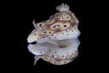 Risbecia Tryoni Nudibranch, Beqa Lagoon, Fiji Photographic Print by  Stocktrek Images