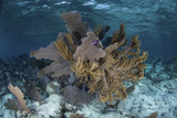 Colorful Gorgonians Grow in Off Turneffe Atoll in Belize Photographic Print by  Stocktrek Images