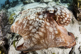 Close-Up of a Caribbean Reef Octopus Off the Coast of Belize Photographic Print by  Stocktrek Images