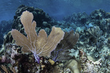 A Colorful Set of Gorgonians on a Diverse Reef in the Caribbean Sea Photographic Print by  Stocktrek Images