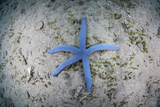 A Blue Starfish on the Sandy Seafloor Near Alor, Indonesia Photographic Print by  Stocktrek Images