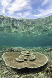 A Large Table Coral Grows on a Reef in Raja Ampat, Indonesia Photographic Print by  Stocktrek Images