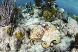 A Caribbean Reef Octopus on the Seafloor Off the Coast of Belize Photographic Print by  Stocktrek Images