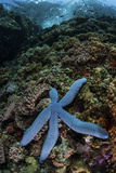 A Blue Starfish Clings to a Reef in Komodo National Park, Indonesia Photographic Print by  Stocktrek Images