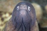 A White-Eyed Moray Eel Fotografisk tryk af Stocktrek Images,