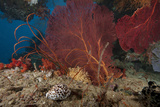 A Large Red Gorgonian Sea Fan and Tiger Cowrie in Waters Off Fiji Photographic Print by  Stocktrek Images