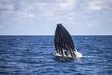 A Humpback Whale Begins to Breach Out of the Atlantic Ocean Photographic Print by  Stocktrek Images
