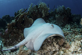 A Roughtail Stingray Swims over the Seafloor Near Turneffe Atoll Photographic Print by  Stocktrek Images