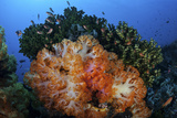 A Beautiful Cluster of Soft Coral Colonies on a Coral Reef in Indonesia Photographic Print by  Stocktrek Images