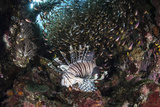 A Lionfish Hunts for Prey on a Colorful Coral Reef Photographic Print by  Stocktrek Images