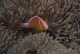 Pink Anemonefish in its Host Anenome, Fiji Reprodukcja zdjęcia autor Stocktrek Images