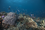 Schooling Anthias Fish and Healthy Corals of Beqa Lagoon, Fiji Photographic Print by  Stocktrek Images