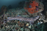 A Coral Catshark Lays on the Seafloor of Lembeh Strait, Indonesia Photographic Print by  Stocktrek Images